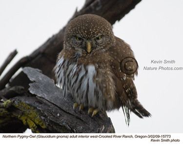 NorthernPygmyOwl15773.jpg