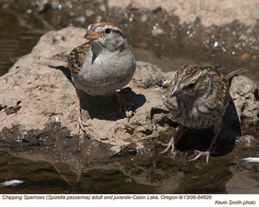 ChippingSparrowsA&J64826.jpg