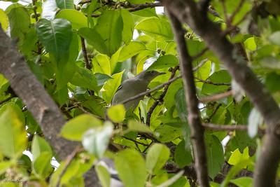 Starling, White-shouldered