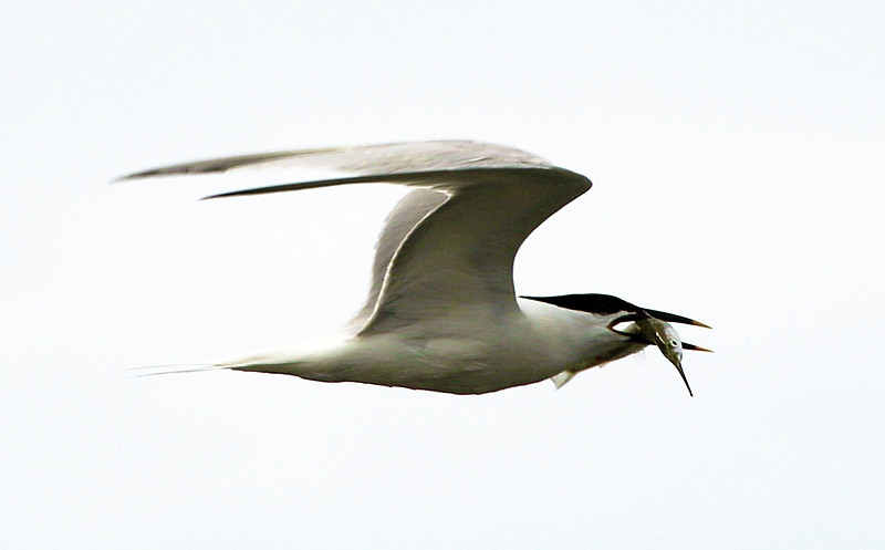 Now it's off to Mobile.  We see a Sandwich tern with a Ballyhoo fish in its mouth.