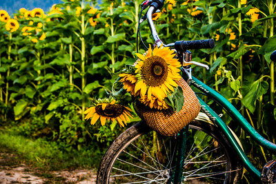 Sunflowers with Bicycle 3