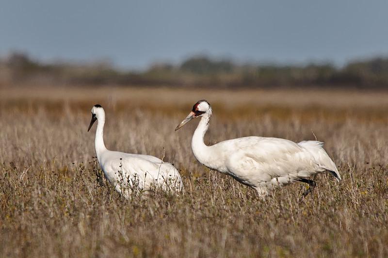 Whooping Crane pair, Aransas Wild Life Preserve