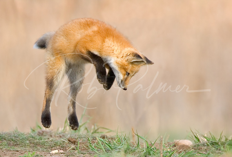 Jumping Red Fox Kit