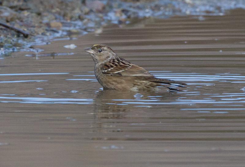 Goldened-crowned Sparrow Camp Pendlton 2017 12 31-2.jpg