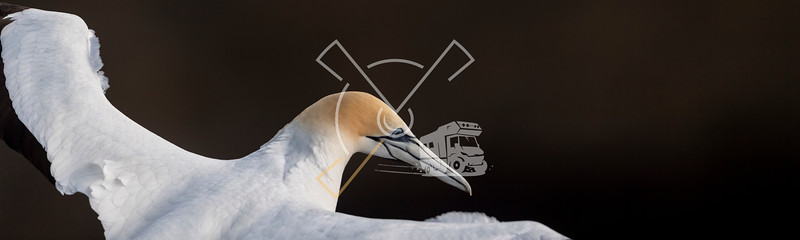 intimate close-up with a Australasian gannet in flight, showing it's top plumage feathers