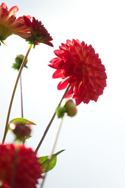 Blumen rot