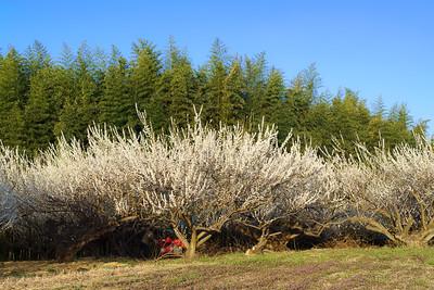 Morishima Plum Orchard