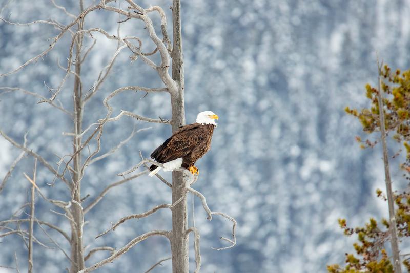387A9342 Bald Eagle close.jpg