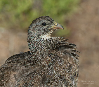 Cape Spurfowl (Pternistis capensis)
