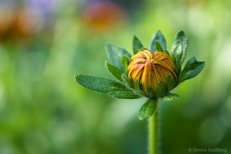 a summer flower, soon to open