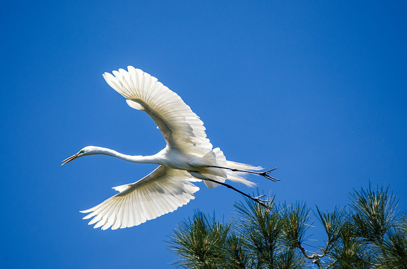 Egret Leaving Tree.jpg