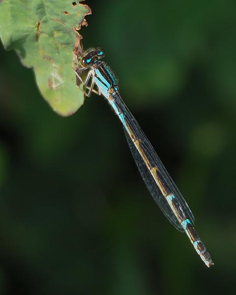 Boreal Bluet, female