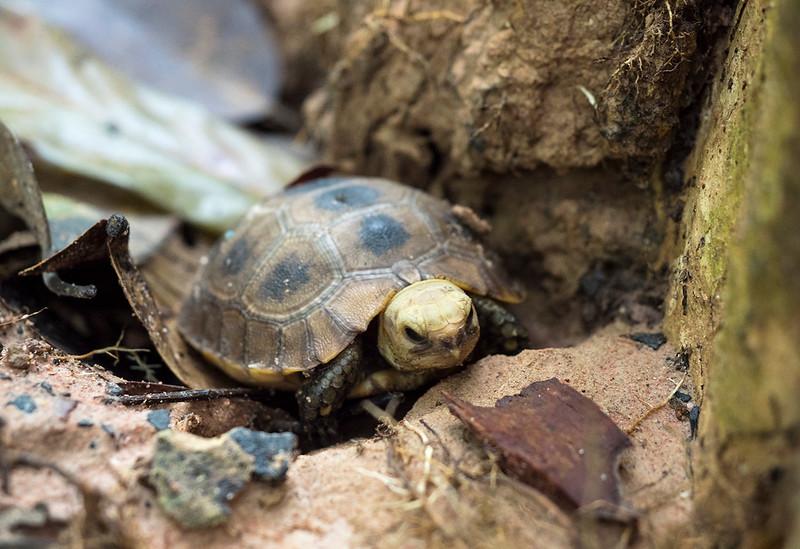 temple turtle.jpg