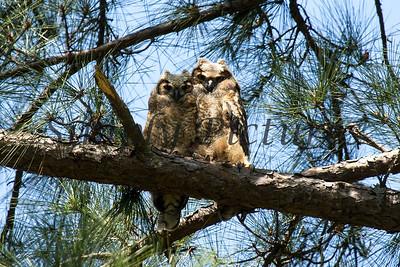 Owl  121