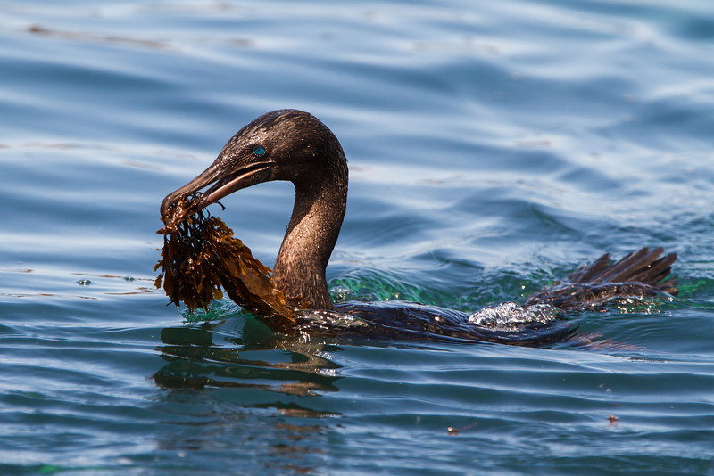 Flightless Cormorant at Punta Moreno, Isabela, Galapagos, Ecuador (11-23-2011) - 495.jpg