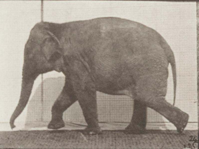 Elephant walking