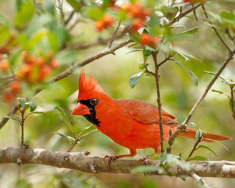 001 - RJP-Cardinal-WhatchaLookingAt-004.jpg