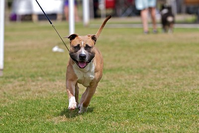 .Other American Staffordshire Terriers