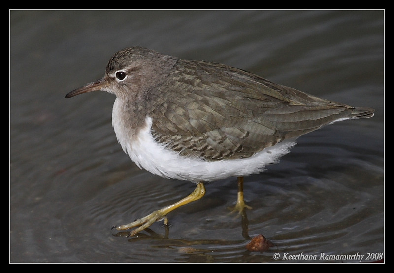 Spotted Sandpiper, Lindo Lake, San Diego County, California, December 2008