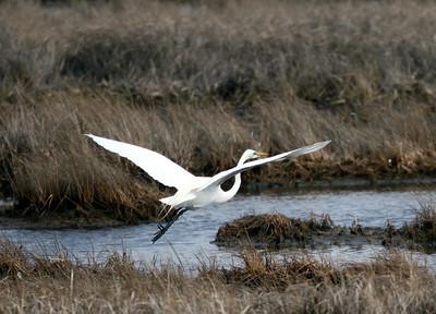 Egrets April 7th