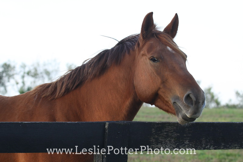 Chestnut Horse Looking Over Fence