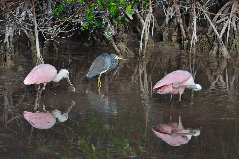 A pair of Roseate Spoonbills and a Little Blue Heron among the Red Mangroves.