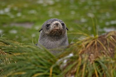 Antarctic Fur Seal pup, South Georgia Island.