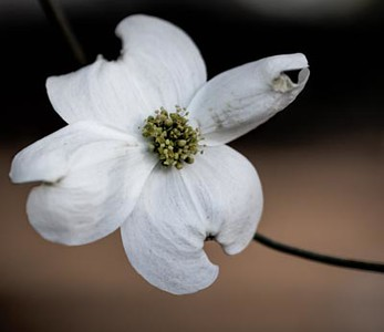 Dogwood flower sprouting