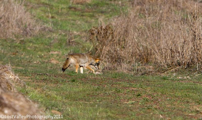 Briones-Coyote-2043.jpg