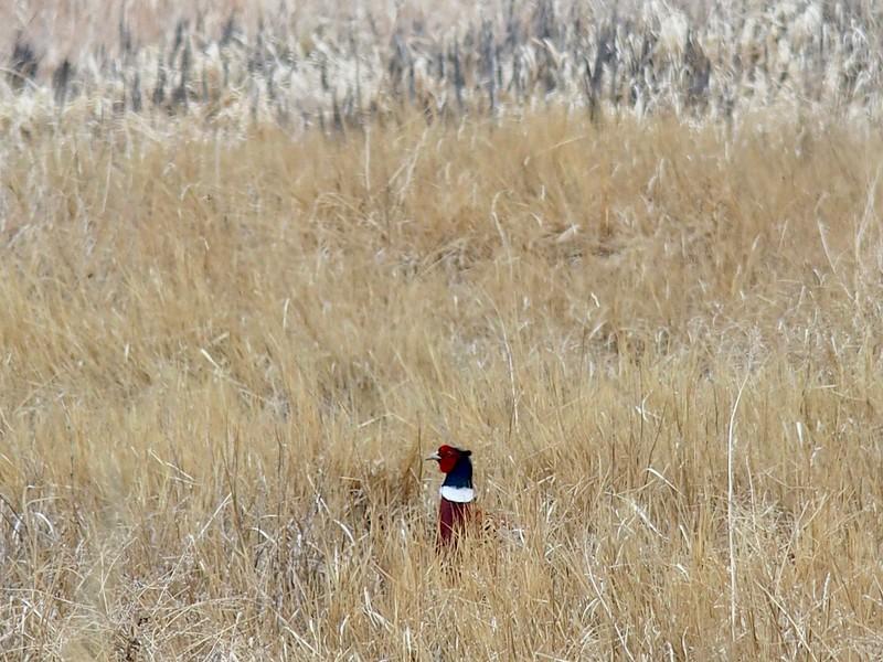 A Ring-necked Pheasant peeking through the tall grass.