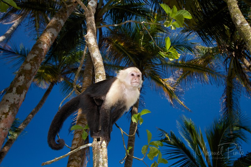 Capuchin white Faced Monkey
