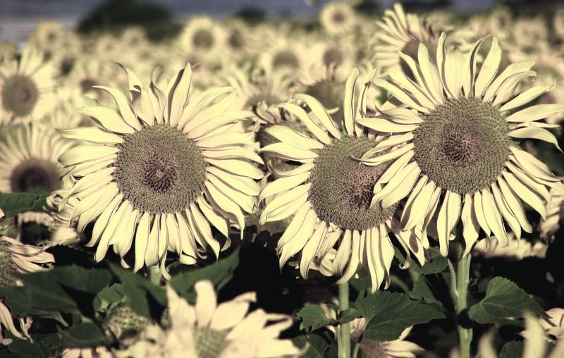 amh FLOWERS (1893).jpg
