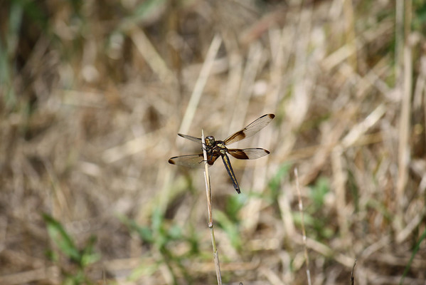 Widow skimmers and white tails