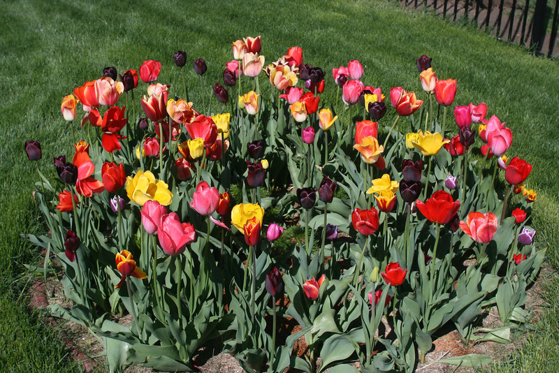 Tulips 2011 011.JPG
