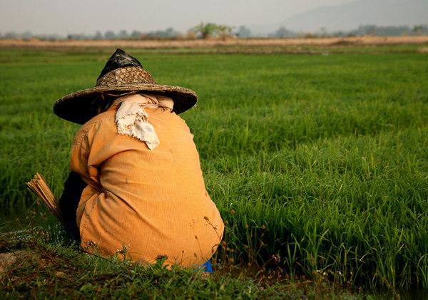 rice paddysmall.jpg
