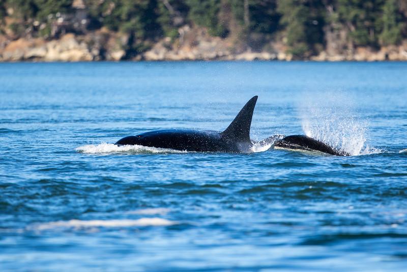 Orcas -  073115-410.jpg