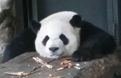 Chengdu Giant Panda Breeding Center