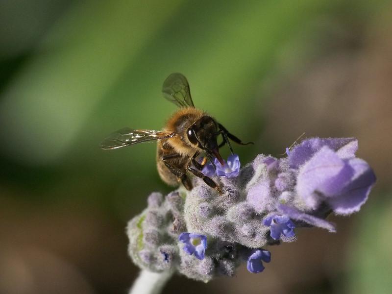 20130915_1601_3096 lavender bee