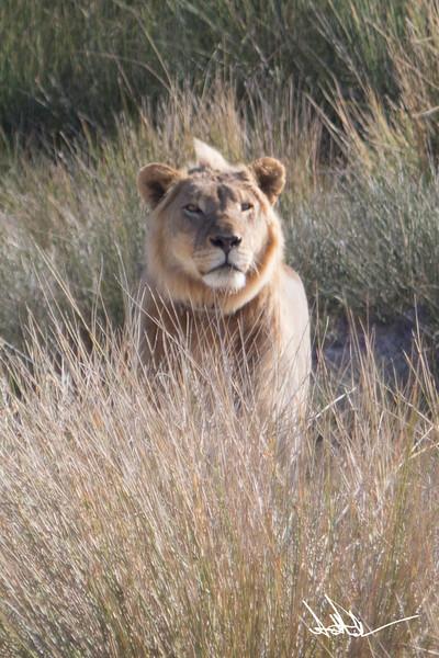 Lions Etosha-S-2.jpg