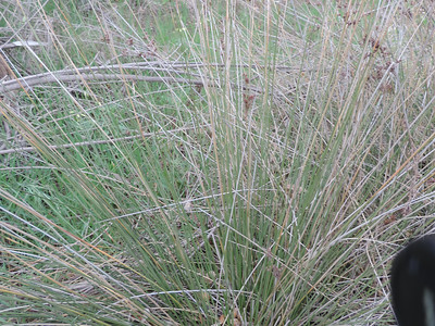 Spiny Rush (Juncus acutus)