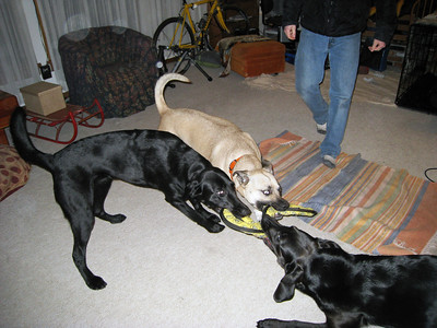 Three Dogs Playing 2010