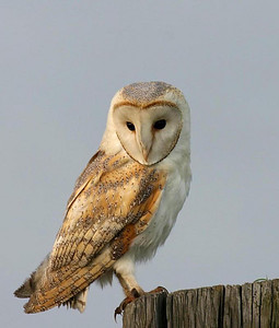 Barn Owl, Kerkuil, Palabrua, Tyto alba