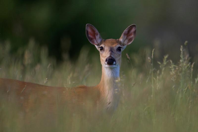 whitetailed deer003.jpg