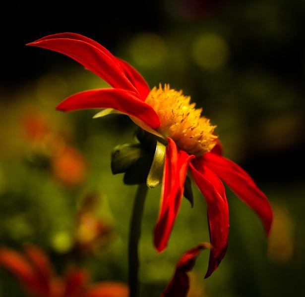 Red dahlia flower.jpg