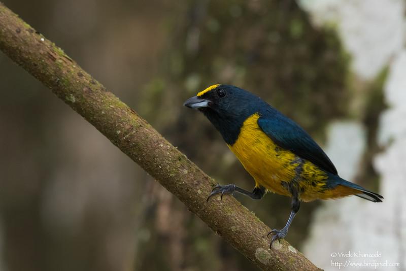Yellow-crowned Euphonia - Gamboa Rainforest Resort, Gamboa, Panama