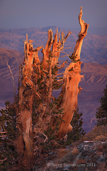 Death Valley bristlecone pine tree on Telescope Peak