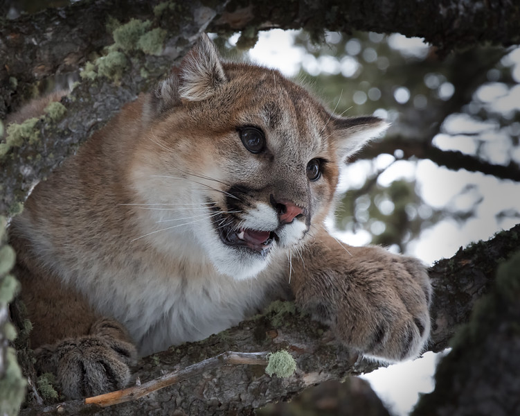 Mountain Lion Closeup.jpg