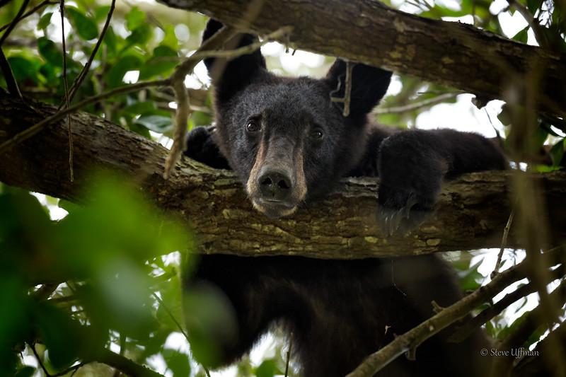 20151023-_Q2C5995St-Mary-Black-Bear.jpg