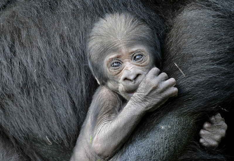 """. Gorilla mother \""""Gana\"""" holds her young baby in their enclosure at the zoo in the western German city of Muenster. The baby named Claudia was born a day earlier at the zoo. (PHILIPP GUELLAND/AFP/Getty Images)"""