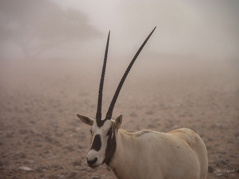 Arabian Oryx (78).jpg